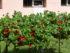 Panciu orasul florilor (5)